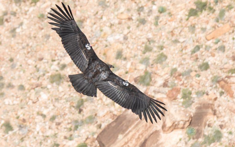 Condors!